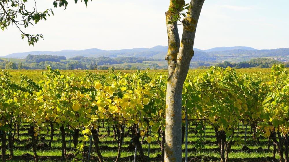 el vino y el clima